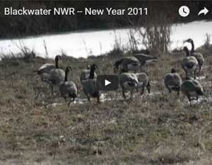 Blackwater NWR at New Years video