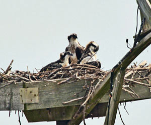 adult osprey and two chicks at the Blackwater NWR Osprey Cam nest